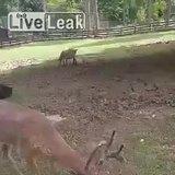 Guy blows Deer