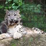 Snow leopards bite their tails